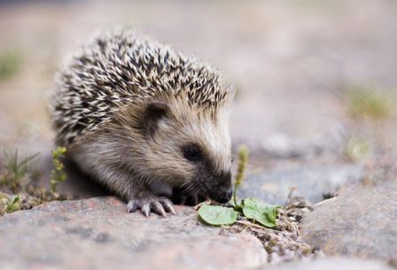 Keqs_young_european_hedgehog_by_lars_karlsson__keqs__-_own_work__licensed_under_creative_commons_attribution-share_alike_2_5_via_wikimedia_c_article_detail