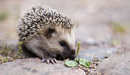 Keqs_young_european_hedgehog_by_lars_karlsson__keqs__-_own_work__licensed_under_creative_commons_attribution-share_alike_2_5_via_wikimedia_c_listing